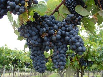 El vino Tannat, emblema uruguayo