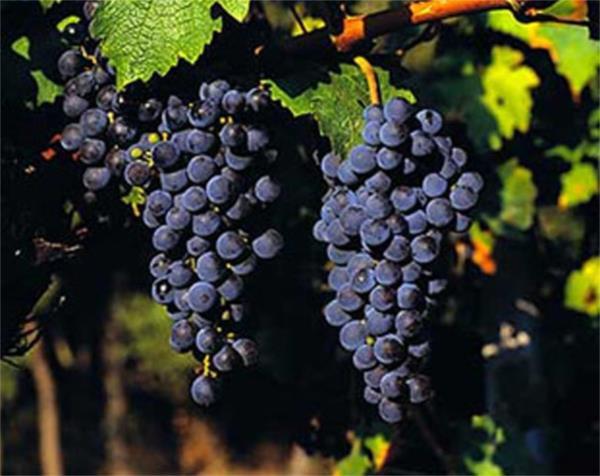 A uva Cabernet Sauvignon.