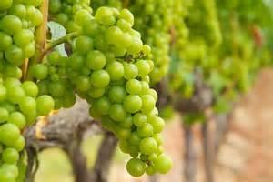 A uva Chardonnay