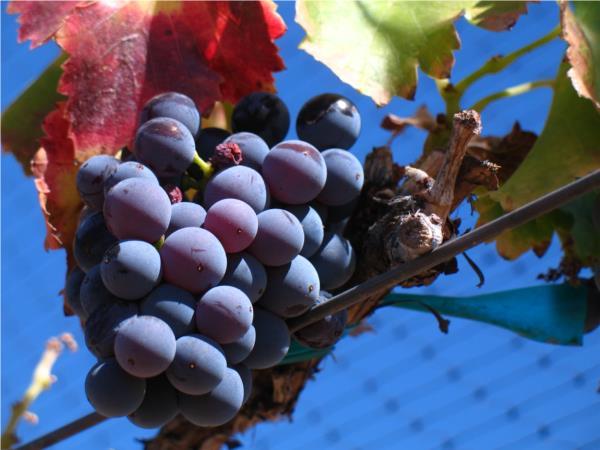 A uva Grenache.