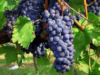 A uva Sangiovese.