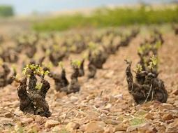¿Afecta el suelo y el clima al aroma del vino?.