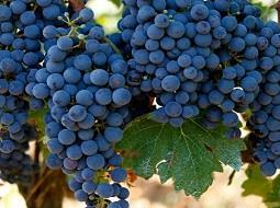 ¿Cómo llegó la uva monastrell al levante español?.