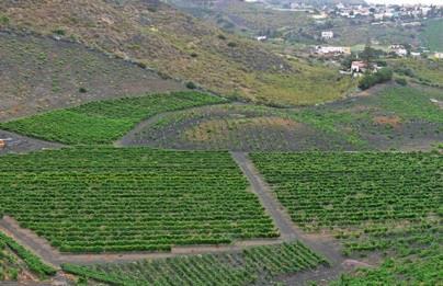 ¿Cómo son las condiciones de las Islas Canarias para el cultivo de la vid?