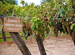 El Torrontés, esencia del vino argentino.