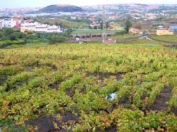 El vino del valle de la Orotava obtiene calificación muy buena para la cosecha del 2016.