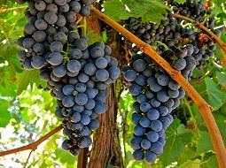 El vino Tannat, en busca de la calidad y la exportación.