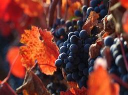 La uva carménère y el terroir chileno.