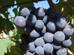 Los aromaticos vinos  tintos de la DOP Pla de Bages.